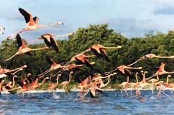 Flamingos rising at Celestun