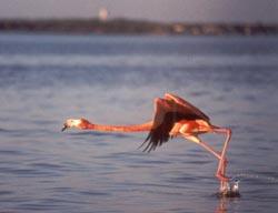 Flamingo Ballet @ Rio Lagartos